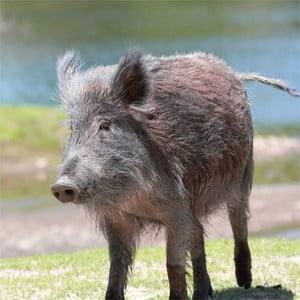 Polštář Animals Boar, 42x42 cm