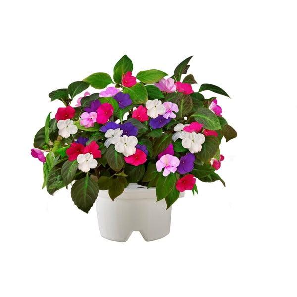 Startovací květináč Bazalka + náhradní kazeta Netýkavka
