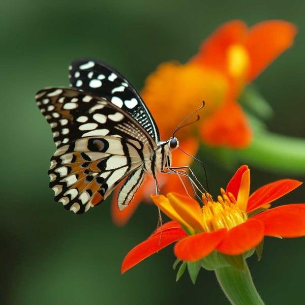 Obraz Obědová motýlí pauza, 60x60 cm