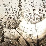 Skleněný obraz Dew Drops 50x50 cm