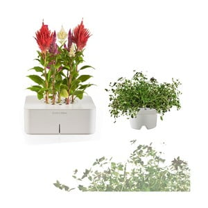 Startovací květináč Celosia + náhradní kazeta Tymián