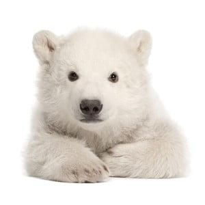 Nástěnná samolepka Dekornik Polar Bear, 58x55cm