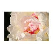 Fotoobraz Růžovobílý květ, 40x60 cm, exkluzivní edice