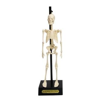 Mulaj schelet Rex London Anatomical