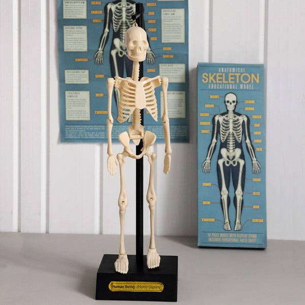 Mulaj schelet Rex London Anatomical