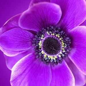 Obraz na skle Fialový květ, 50x50 cm