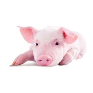 Polštář Animals Pig, 42x42 cm