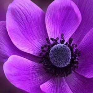 Obraz na skle Fialový květ II, 50x50 cm