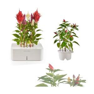 Startovací květináč Celosia + náhradní kazeta Chilli