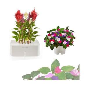 Startovací květináč Celosia + náhradní kazeta Netýkavka