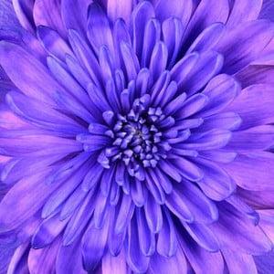 Obraz na skle Fialová květina, 50x50 cm